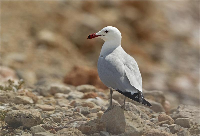 Audouins gull - Audoins meeuw - Ichthyaetus audouinii