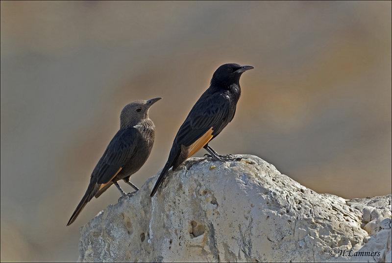 Tristrams Starling - Tristrams spreeuw - Onychognathus tristramii  (male and female )