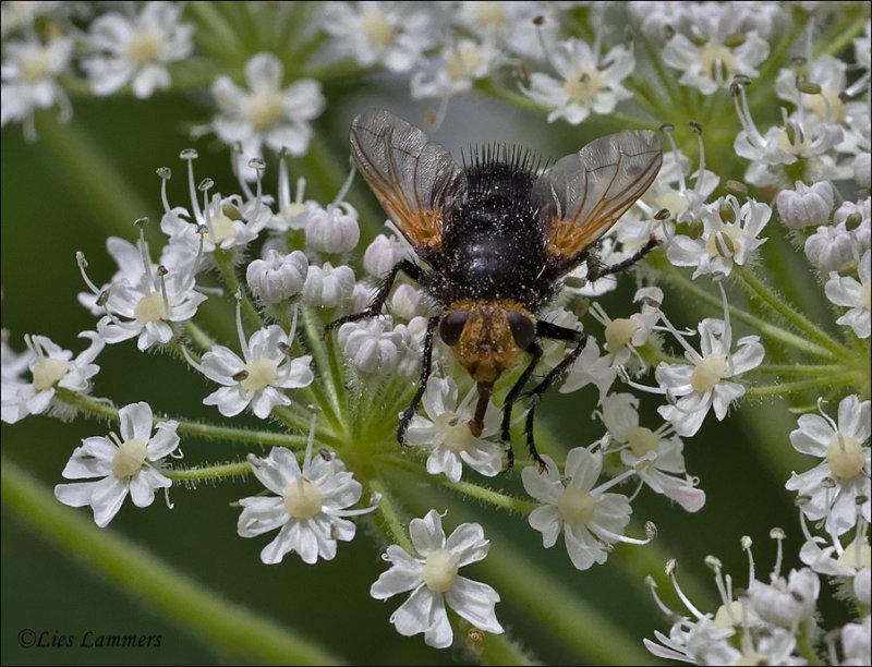Giant Tachinid Fly - Stekelsluipvlieg - Tachina grossa