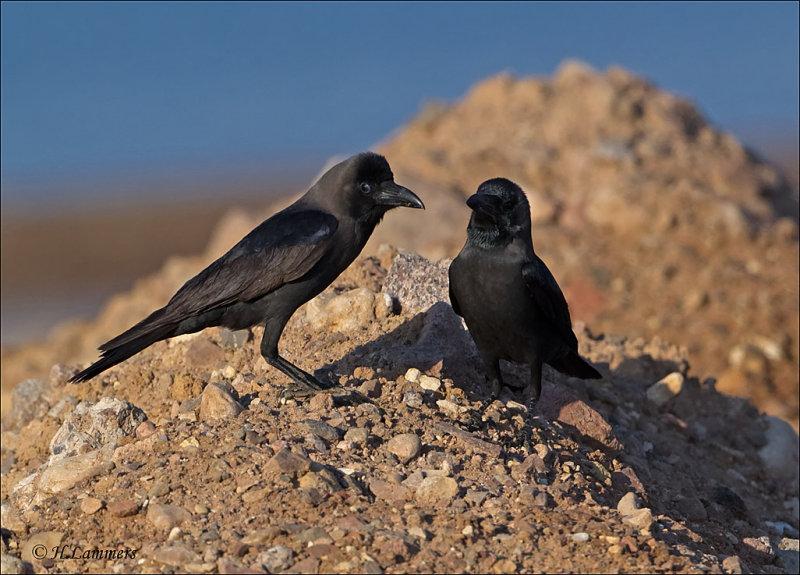 House Crow - Huiskraai - Corvus splendens