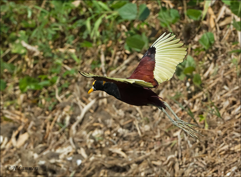 Northern Jacana - Jacana spinosa