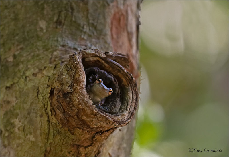 Olive Snouted Treefrog - Scinax elaeochroa