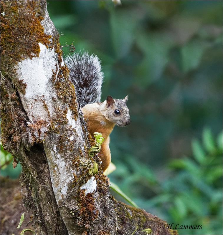 Variegated Squirrel - Grote gevlekte boomeekhoorn - Sciurus variegatoides