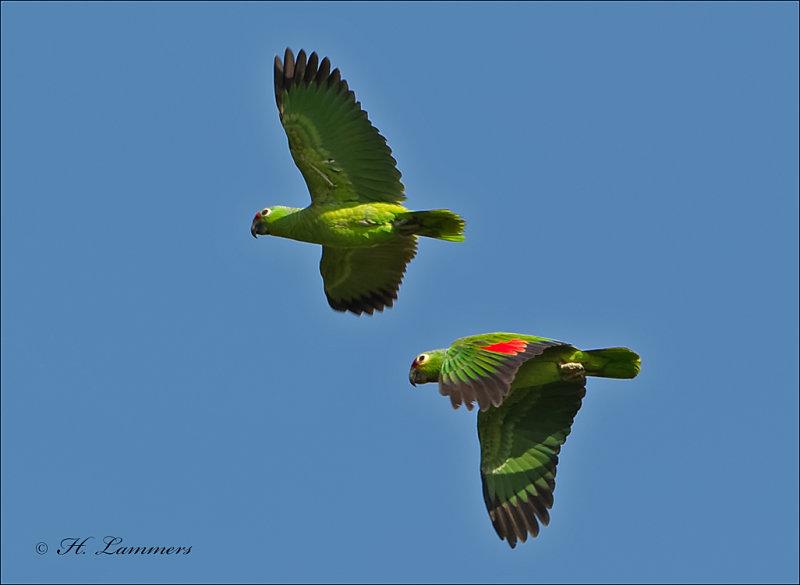 Red-lored Parrot - Geelwangamazone -  Amazona autumnalis