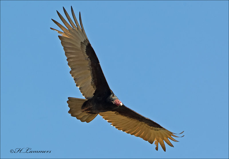 Turkey Vulture - Roodkopgier - Cathartes aura