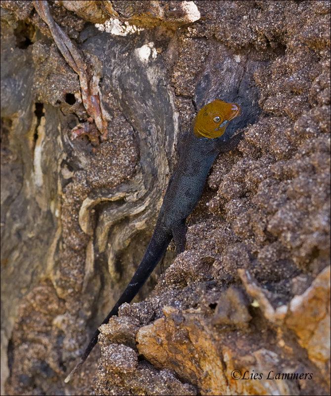 Yellow-headed gecko - Geelkopdaggekko - Gonatodes fuscus
