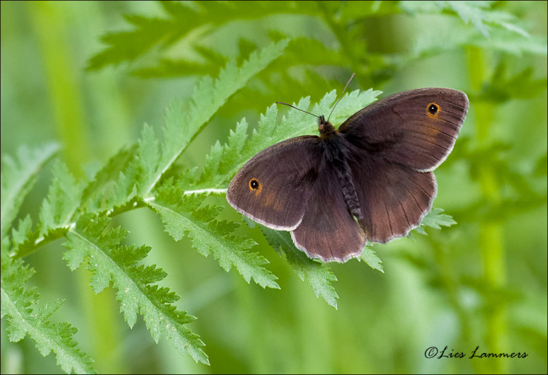 Meadow Brown - Bruin zandoogje - Maniola jurtina