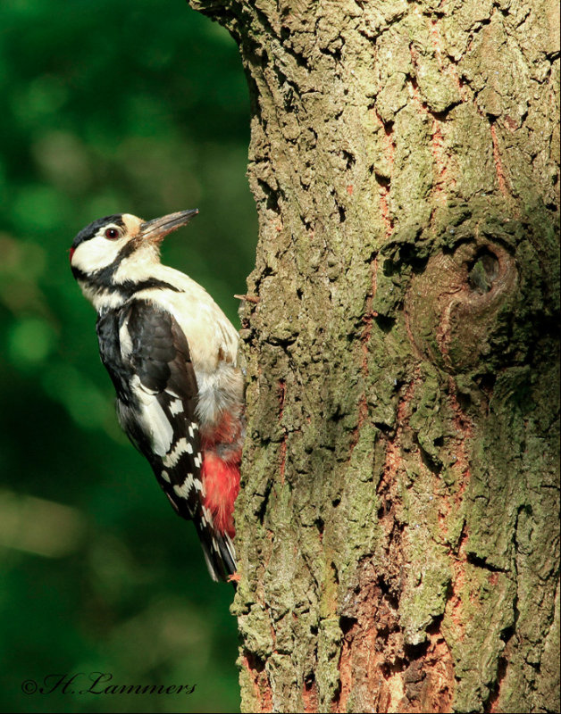 Great Spotted Woodpecker - Grote bonte specht - Dendrocopos major
