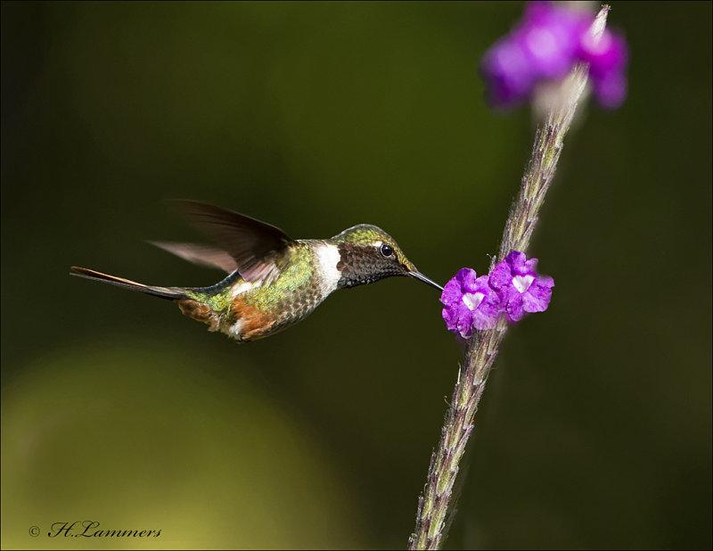 Magenta-throated Woodstar -  Costaricaanse boself -  Calliphlox bryantae