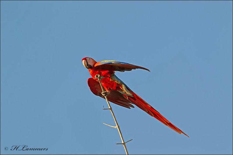 Scarlet Macaw -Geelvleugelara - Ara macao