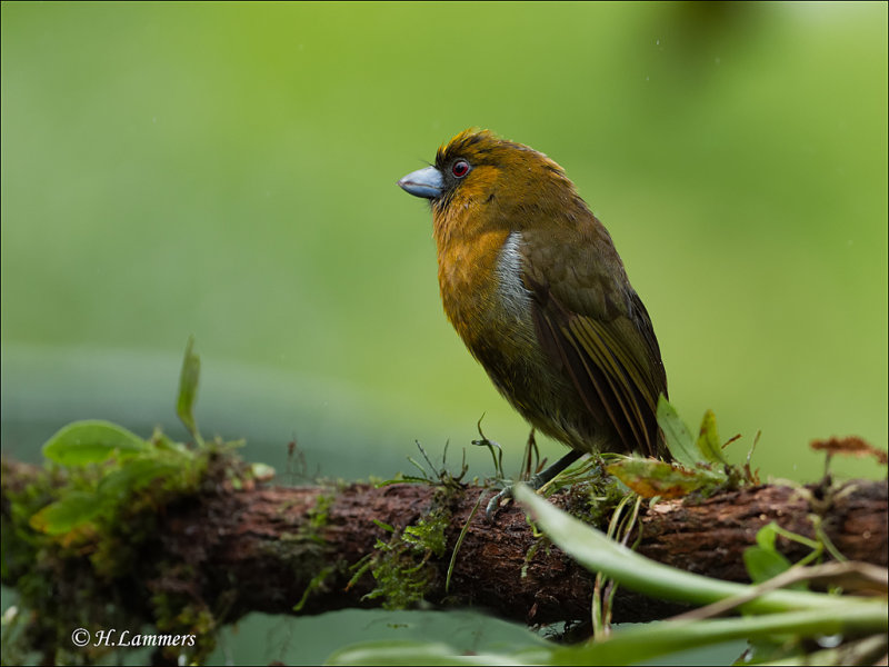 Prong - billed Barbet - Tandsnavelbaardvogel  - Semnornis frantzii