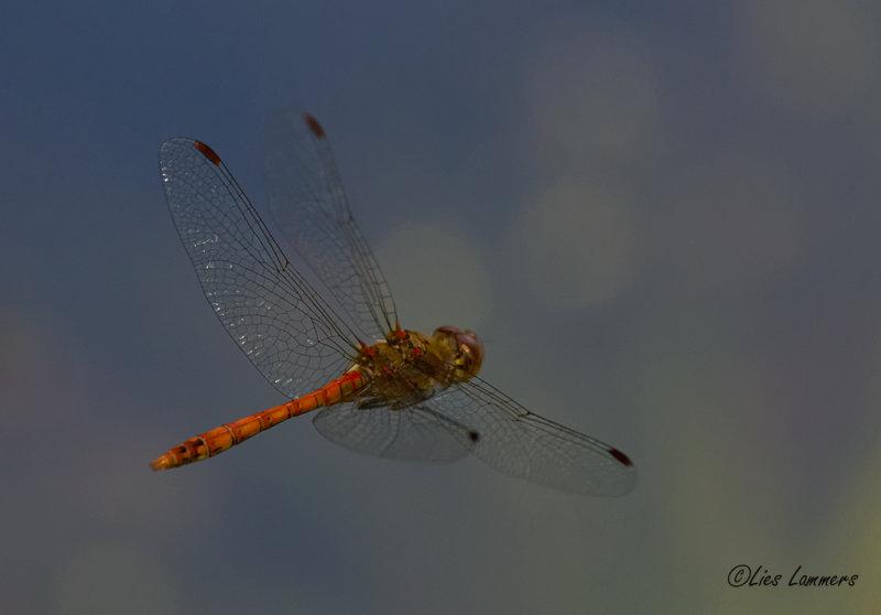 Common Darter - Bruinrode heidelibel - Sympetrum striolatum