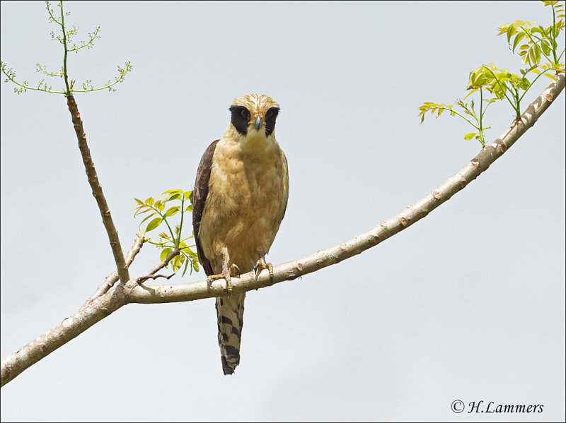 Laughing Falcon -  Lachvalk - Herpetotheres cachinnans