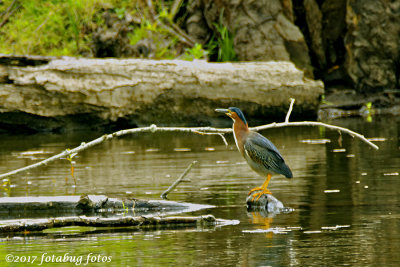 My First Sighting of a Green Heron This Year.