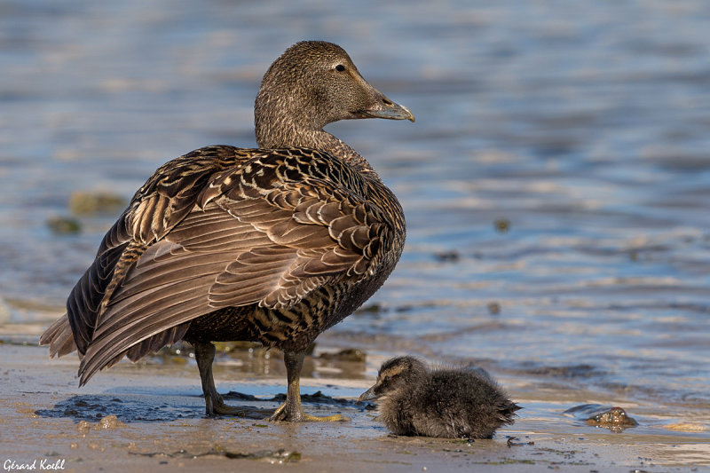 Eider femelle avec son petit
