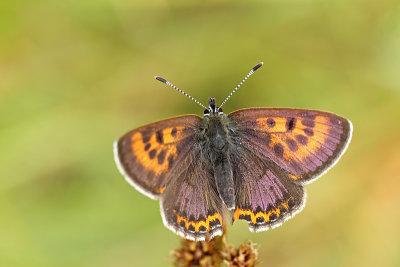 Blauwtjes - Lycaenidae (31 species)