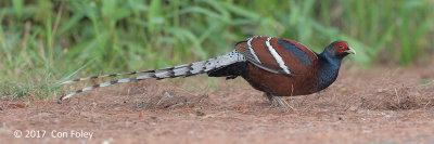 Pheasant, Mrs. Humes (male) @ Doi San Ju