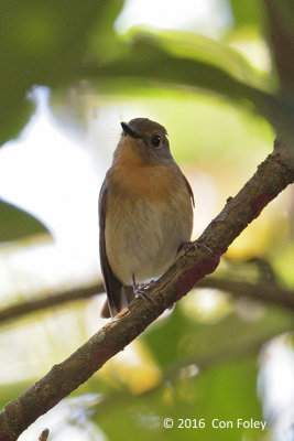 Flycatcher, Hainan (female) @ Bach Ma