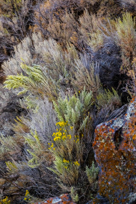 Wildflowers, Snake River Canyon, Twin Falls, Idaho, 2018