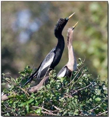 Anhinga - male (left) & female