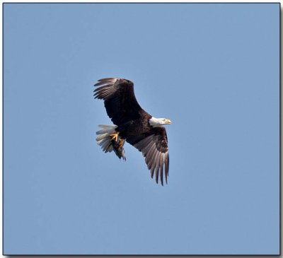 Bald Eagle - with a fish