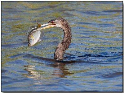 Anhinga - with a fish