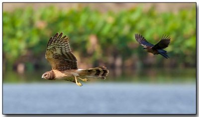 Northern Harrier being chased by a Grackle