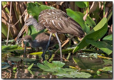 Limpkin feeding her chick