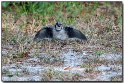 Blue Jay juvenille