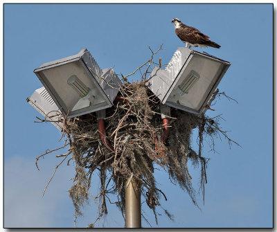 Osprey - is this nest taken?