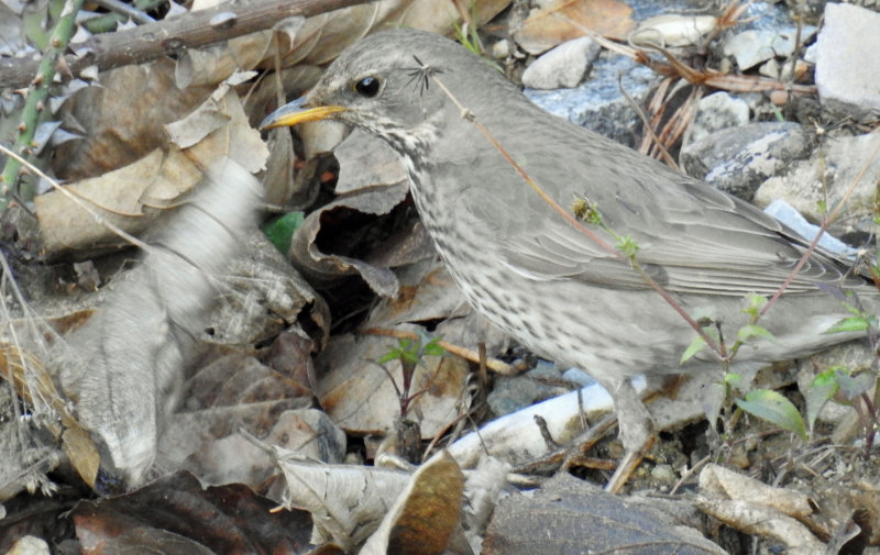 Black throated thrush (first winter)
