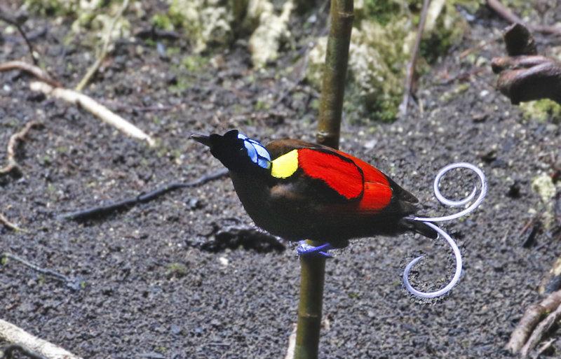 Wilsons Bird-of-Paradise