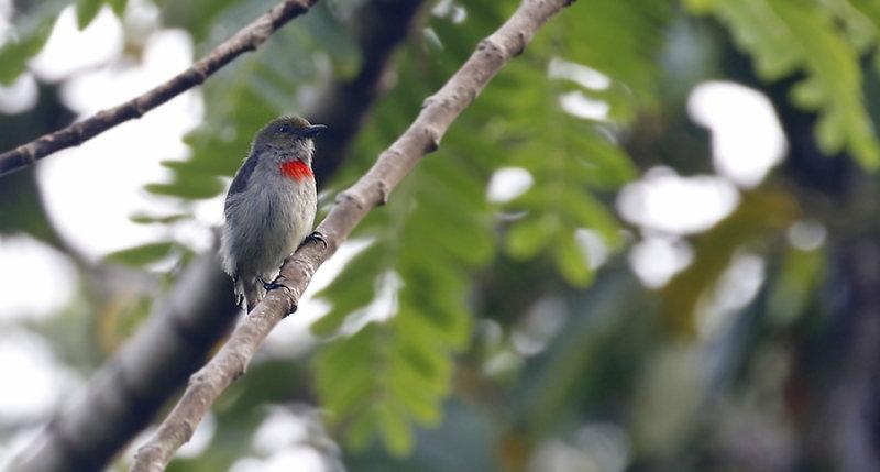 Olive-crowned Flowerpecker