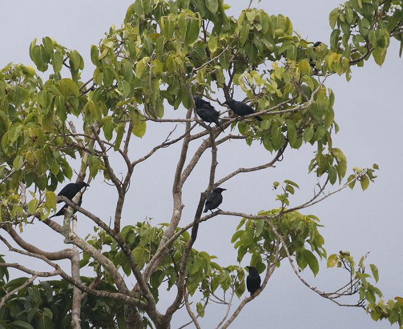 Singing Starlings