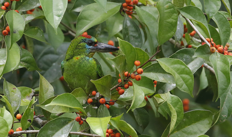 Red-throated Barbet, fem