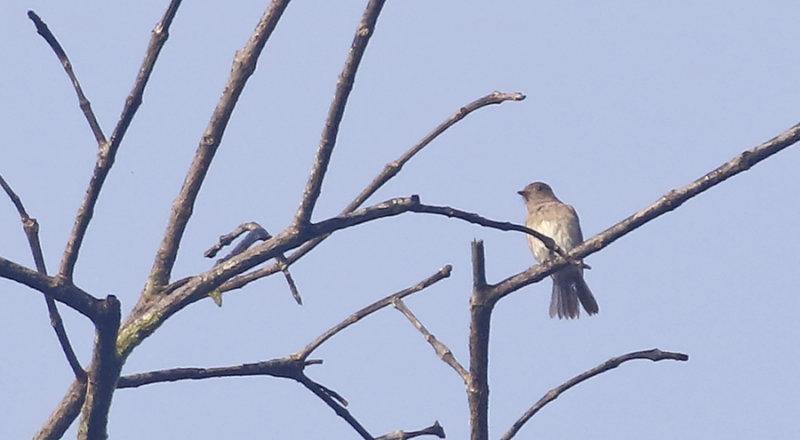Blue-white Flycatcher, fem