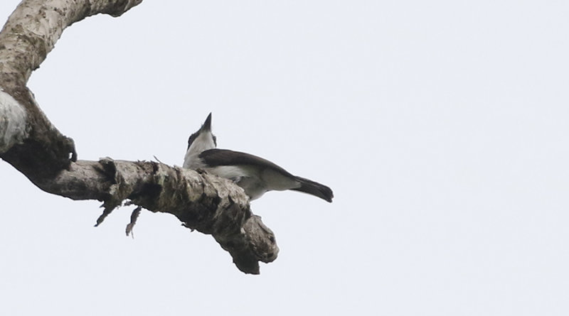 Black-winged Flycatcher Shrike