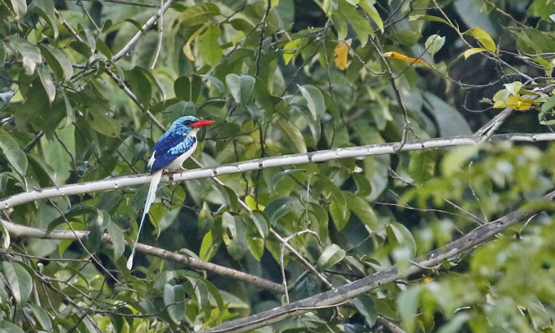 Biak Common Paradise Kingfisher