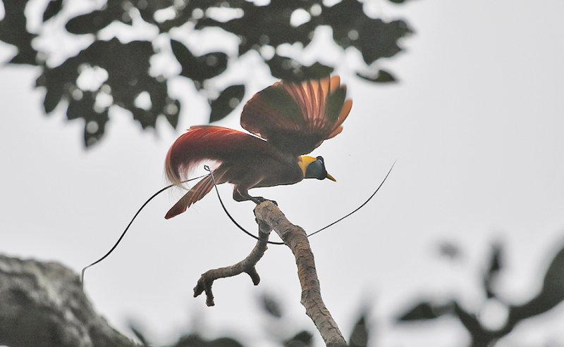 Red Bird of Paradise