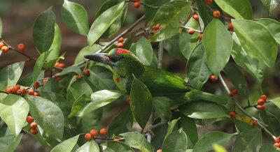 Red-throated Barbet, fem