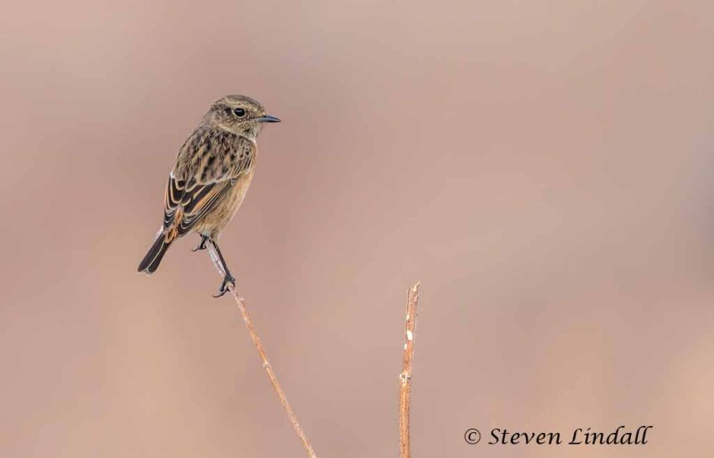 Whinchat (female)