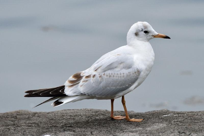 Sea Gull (3)