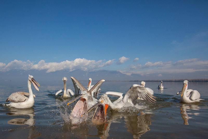 dalmatian pelican<br><i>(Pelecanus crispus)</i>