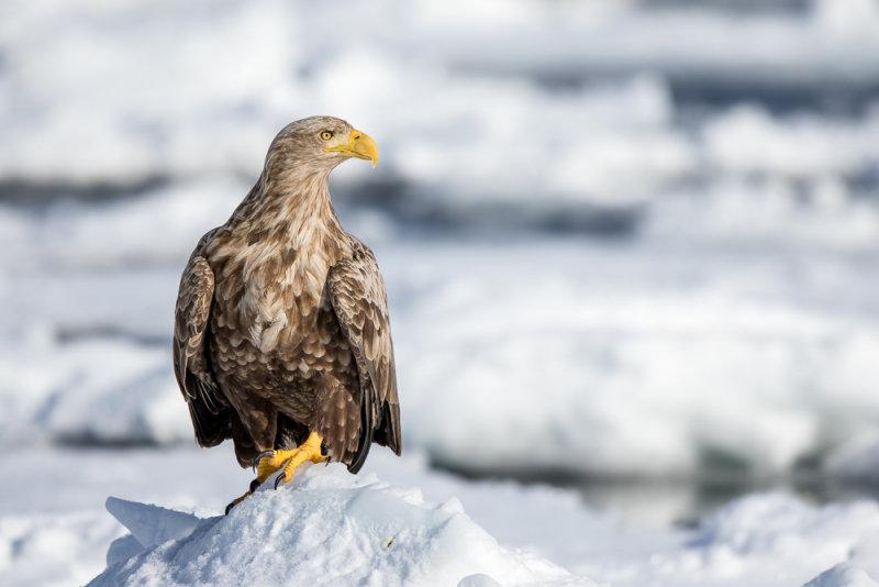 White-tailed Sea-eagle<br><i>(Haliaeetus albicilla)</i>