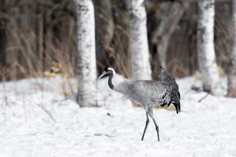 Common Crane<br><i>(Grus grus)</i>