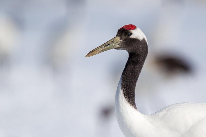 Red-crowned Crane<br><i>(Grus japonensis)</i>