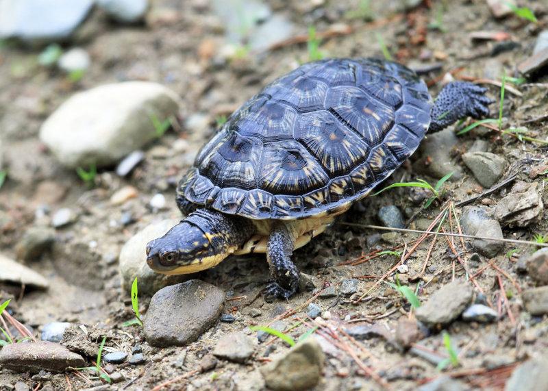 Blandings Turtle - Emydoidea blandingii