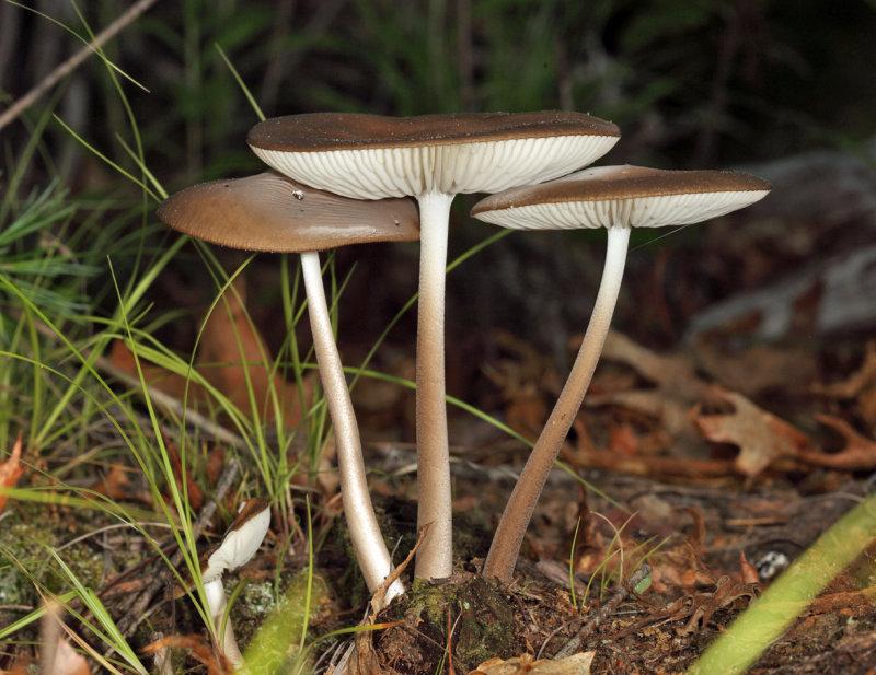 Xeruloid Mushrooms
