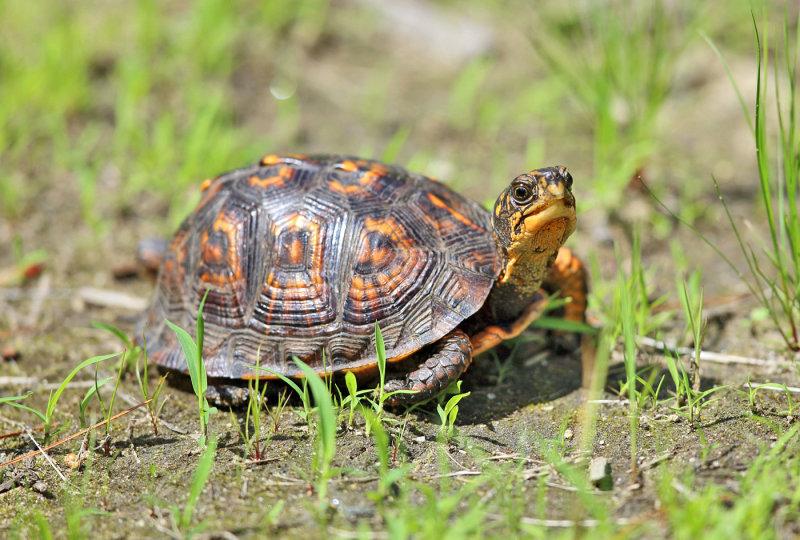 Eastern Box Turtle - Terrapene carolina