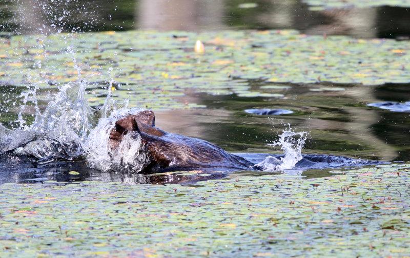 North American Beaver - Castor canadensis (tail slap & dive)
